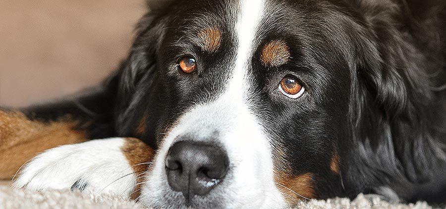 Good Reasons To Adopt An Older Pet Pet Health Care