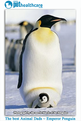 The emporer penguin dad