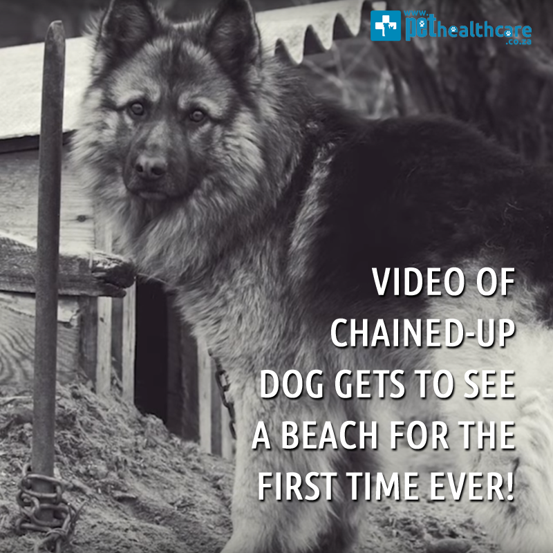 dogs day out, abused dog, chained dog, animal rescue, happy home, happy story, good ending, dog gets saved, pet healthcare, pet insurance, pet rescue, south africa, online pet mag, german shepherd, teddy bear,