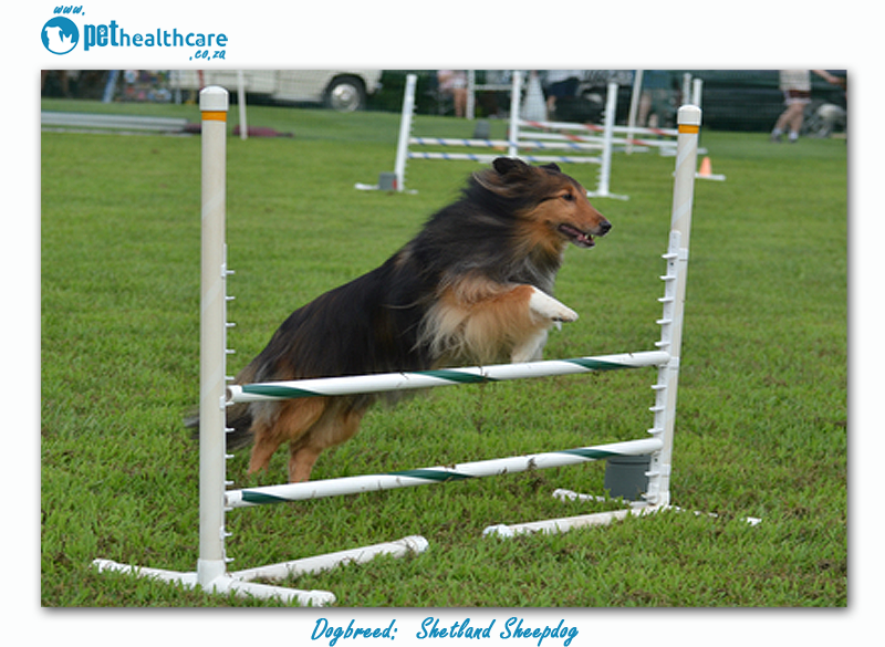 Top dogbreed in South Africa Shetland Sheepdog