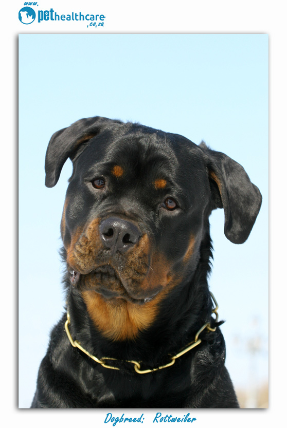 Dog breed Rottweiler