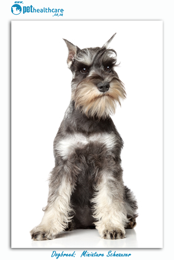 Top dogbreed in south africa miniature schnauzer