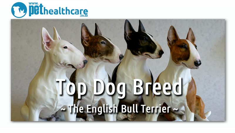 English Bull Terrier Breed