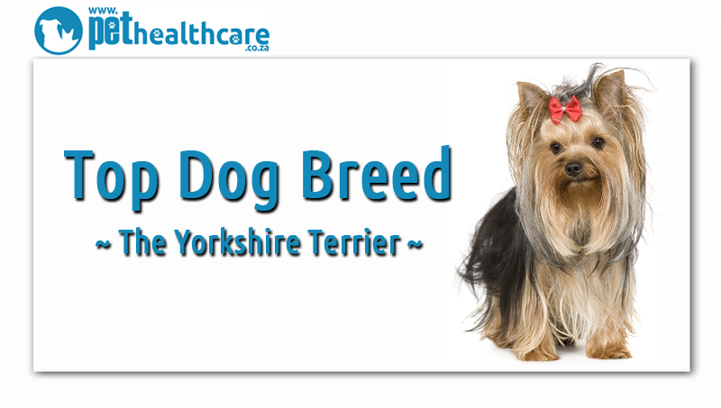 Top dog breeds in south africa, yorkshire terrier, yorkie