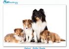Top dogbreeds in South Africa Shetland Sheepdog