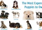 Most Expensive Dog Breeds, English Bulldog, German Shepherd, French Bulldog, Chow Chow, Tibetan Mastiff, Irish Wolfhound, Great Dane, Puppies, Rottweiler, Bernese Mountain Dog, Basset Hound
