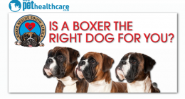 Is a boxer dog right for you, dieregesondheid, animal health, pet insurance, diere versekering, troeteldierversekering suid afrika, south Africa, Pet Health Care, pet care health, petcarehealth, pethealthcare, ask the vet, dieremaniere, animal behaviour, sick animals, siek diere, honde, katte, cats, dogs, veterinary advice, dog walks, dog events, pet wellness, kitten care health, pet care health insurance, pet insurance health, pet care news, pet health care questions, pet care health claim form, pet care h
