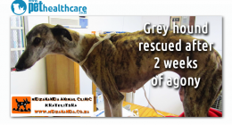 Greyhound Rescued in Khayelitsha Animal Hero, dieregesondheid, animal health, pet insurance, diere versekering, troeteldierversekering suid afrika, south Africa, Pet Health Care, pet care health, petcarehealth, pethealthcare, ask the vet, dieremaniere, animal behaviour, sick animals, siek diere, honde, katte, cats, dogs, veterinary advice, dog walks, dog events, pet wellness, kitten care health, pet care health insurance, pet insurance health, pet care news, pet health care questions, pet care health claim