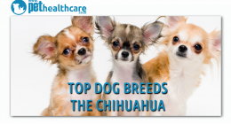 Top Dog Breeds, Chihuahua, dieregesondheid, animal health, pet insurance, diere versekering, troeteldierversekering suid afrika, south Africa, Pet Health Care, pet care health, petcarehealth, pethealthcare, ask the vet, dieremaniere, animal behaviour, sick animals, siek diere, honde, katte, cats, dogs, veterinary advice, dog walks, dog events, pet wellness, kitten care health, pet care health insurance, pet insurance health, pet care news, pet health care questions, pet care health claim form, pet care heal