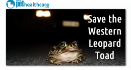 Save the endangered western leopard toad, dieregesondheid, animal health, pet insurance, diere versekering, troeteldierversekering suid afrika, south Africa, Pet Health Care, pet care health, petcarehealth, pethealthcare, ask the vet, dieremaniere, animal behaviour, sick animals, siek diere, honde, katte, cats, dogs, veterinary advice, dog walks, dog events, pet wellness, kitten care health, pet care health insurance, pet insurance health, pet care news, pet health care questions, pet care health claim form